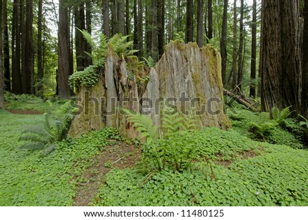 Ancient mossy redwood tree stump surrounded by ferns and wood sorrel - stock photo