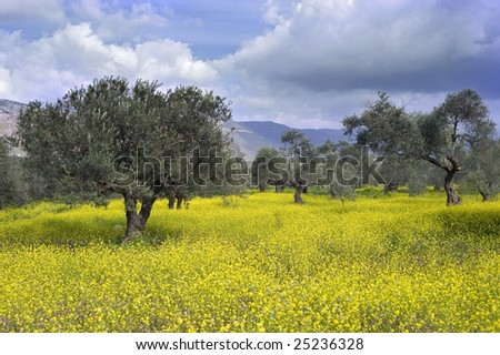 ancient  olive grove in the Galilee, Israel - stock photo