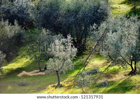 Ancient olive grove in Tuscany, Italy - stock photo