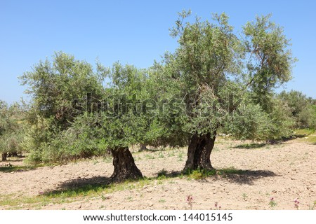 Ancient olive trees in Judea Hills (Israel) - stock photo