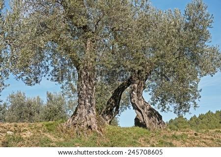 ancient olive trees, Olea europaea - stock photo