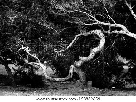 Ancient trees branch. Black and white photo - stock photo