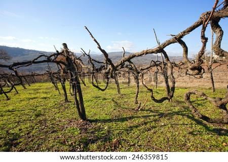 ancient vineyard  in Campania (Italy) - albero (vine-tree) - stock photo