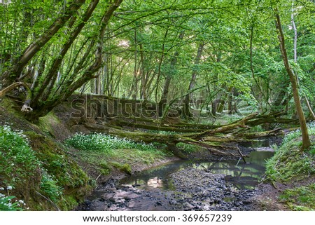 ancient woodland with stream and Ramsons
