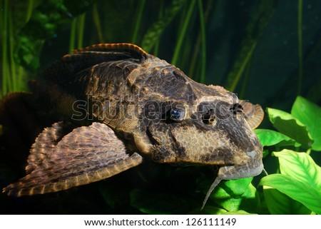 Ancistrus dolichopterus - stock photo