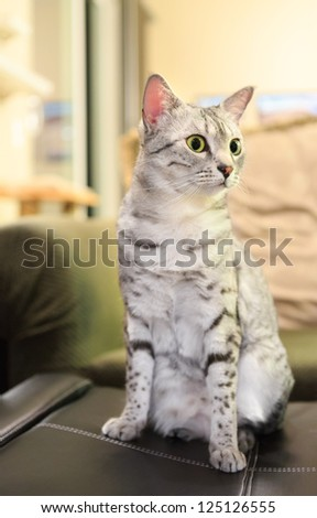 And alert Egyptian Mau Cat sits on a leather ottoman.   Shallow depth of field is focused on the eyes - stock photo