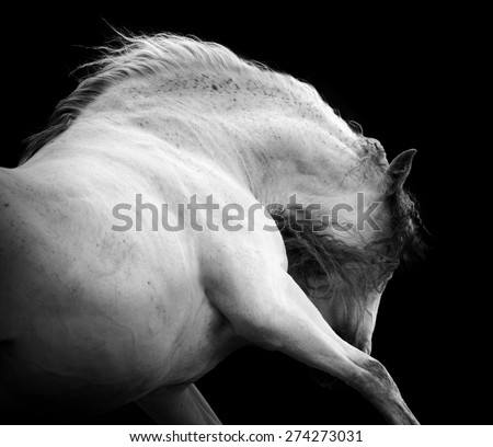 Andalusian expressive horse portrait on black background, low key
