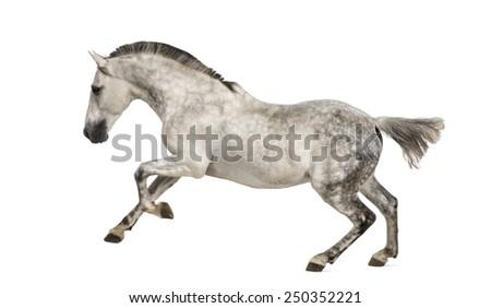 Andalusian horse galloping - stock photo