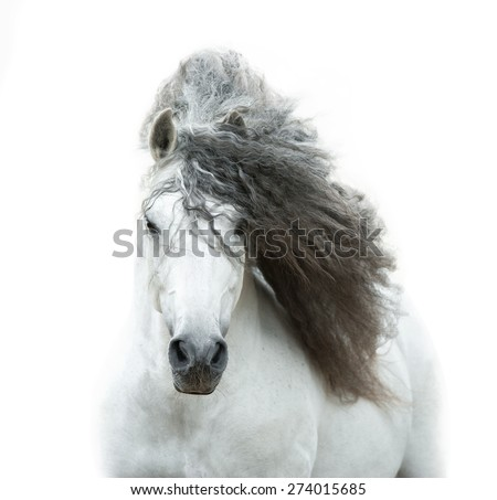 andalusian horse in high key - stock photo