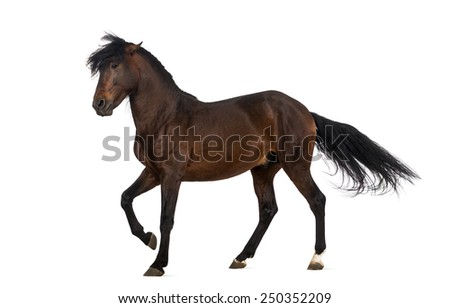 Andalusian horse performing Spanish walk - stock photo