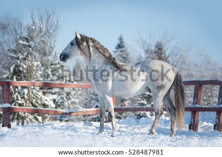 andalusian horse posing in winter paddock
