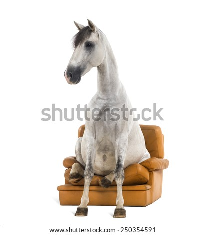 Andalusian horse sitting on an armchair - stock photo
