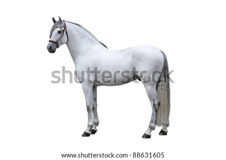 Andalusian stallion on a white background - stock photo