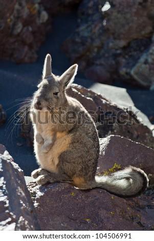 Andean animal viscacha (Lagidium peruanum) - stock photo
