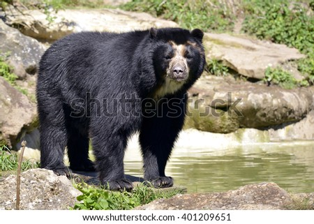 Andean bear (Tremarctos ornatus) standing near pond, also known as the spectacled bear
