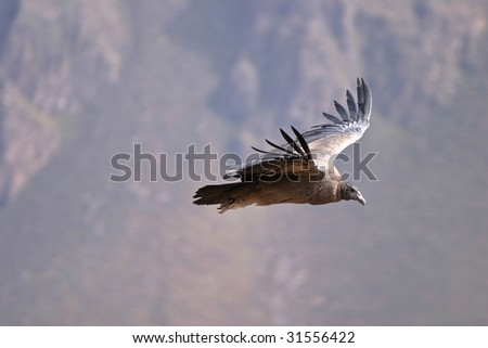Andean condor flying in Colca Canyon - stock photo