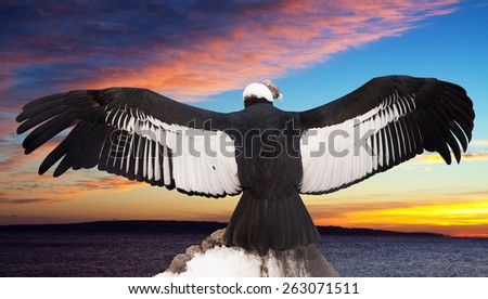 Andean condor on rock  against sunset sky background - stock photo