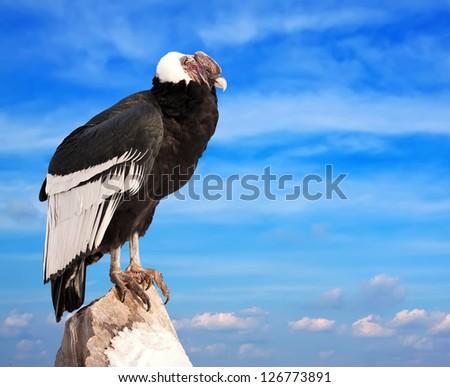 Andean condor sitting on rock  against  sky background - stock photo