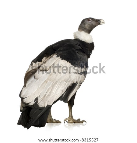 Andean Condor (15 years) Vultur gryphus -  in front of a white background