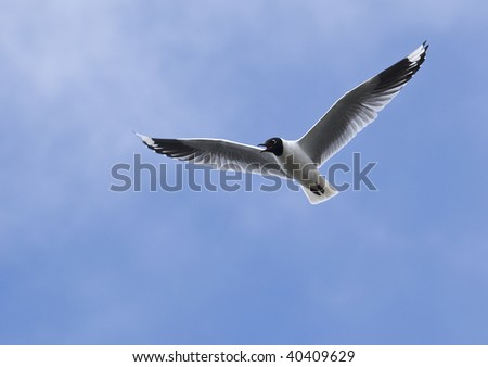 Andean gulls are common to the high Andes, above 10,000 feet - stock photo