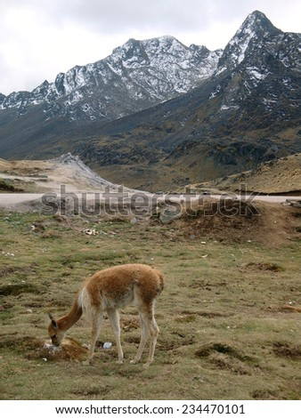 Andes scenery with lama around Huancayo in Peru ( South America)