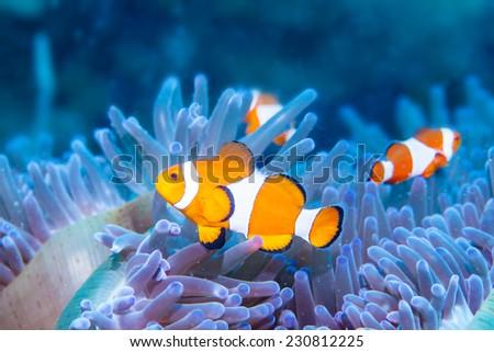 anemone and anemone fish - stock photo