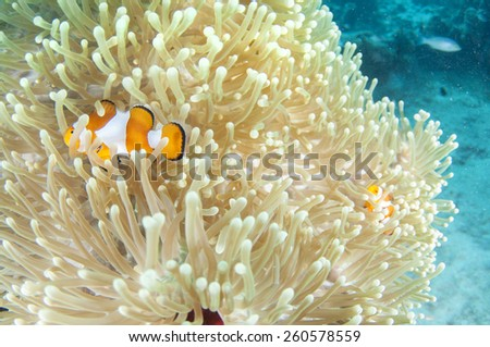 Anemone and anemone fish Coron , Palawan,  Philippines. - stock photo