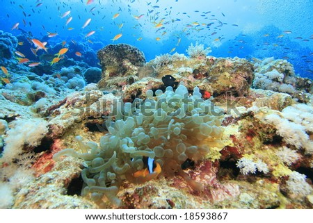 Anemone and anthias on a wall at the Blue Hole, Dahab, Red Sea
