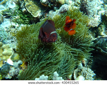 Anemone and clown fish at Bunaken island, north Sulawesi, Indonesia, the black volcanic sands hide all manner of mysteries and oddities form the underwater world
