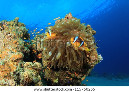 Anemone and Clownfish on coral reef in Red Sea
