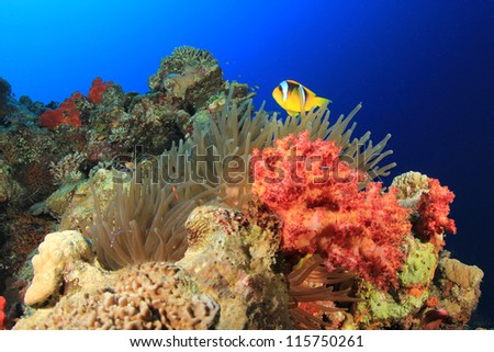 Anemone and Clownfish on coral reef in Red Sea - stock photo
