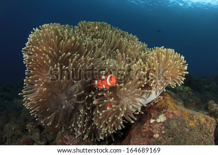 Anemone and Clownfish on underwater reef