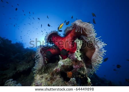 Anemone and fish in the Red Sea. - stock photo