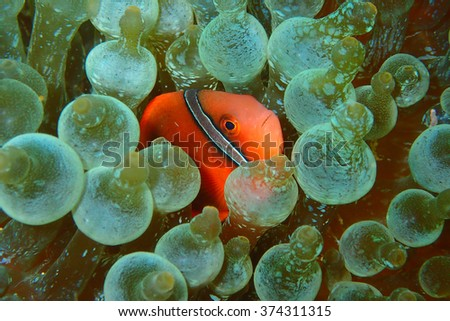Anemone and Ocellaris clownfish close-up underwater - stock photo