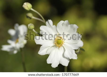 Anemone - anemone hupehensis - stock photo