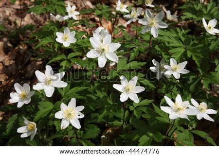anemone (Anemone nemorosa) - stock photo