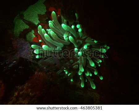 Anemone at night in Bonaire.