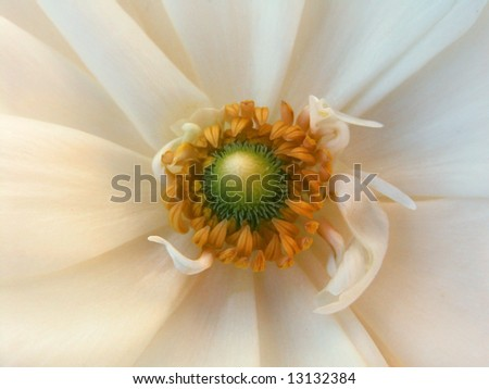 Anemone Coronaria - stock photo