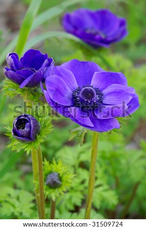 Anemone coronaria 'Mr. Fokker' In Four Stages of Growth Vertical - stock photo