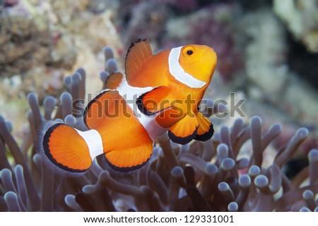 anemone fish - stock photo