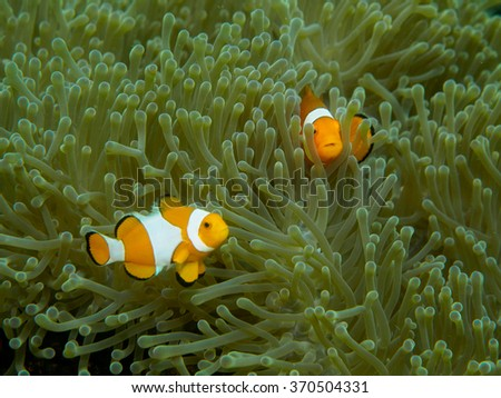 Anemone fish - stock photo