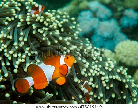 anemone fish at underwater, philippines