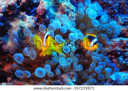 anemone fish, clown fish, underwater photo - stock photo