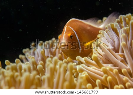 anemone fish, fiji - stock photo