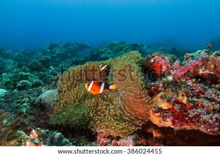 Anemone fish in deep water. Nusa Penida, Indoensia. - stock photo