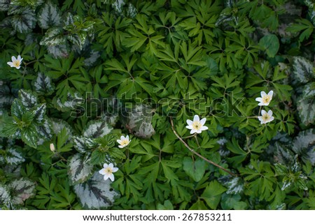Anemone flower surrounded by green leaves in a garden - stock photo