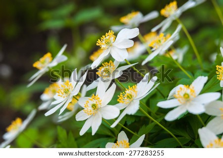 Anemone flowers growing in natural conditions. background.