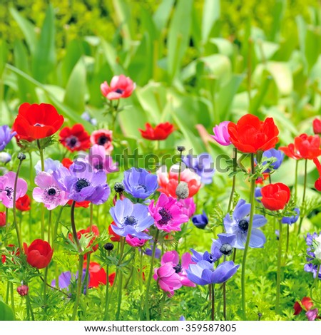 Anemone flowers on field in spring time - stock photo
