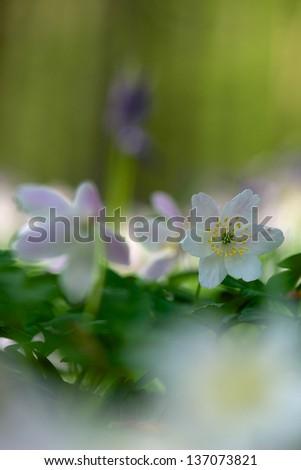 Anemone in the Hallerbos, Belgium - stock photo