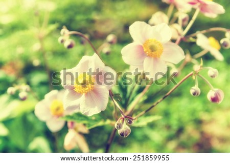 Anemone japonica flowers, lit by sunlight in the garden. Toning - stock photo